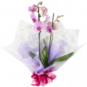 Plant - Orchid Plant